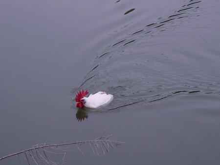 泳げるの? 平然と池を泳ぐニワトリ(笑)animal_0112