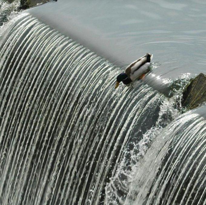 飛び降り! カモが滝を降りる瞬間がまるでジェットコースター(笑)animal_0117
