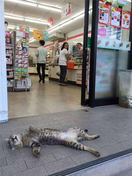 【暑い猫おもしろ画像】涼しい~♪ タイのコンビニの前でくつろぐ猫が気持ちよさそう(笑)cat_0121