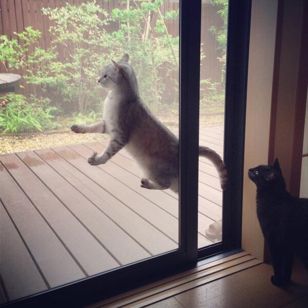 動けない! ドアと網戸の間に挟まり固まった猫と、それを眺める猫(笑)cat_0126