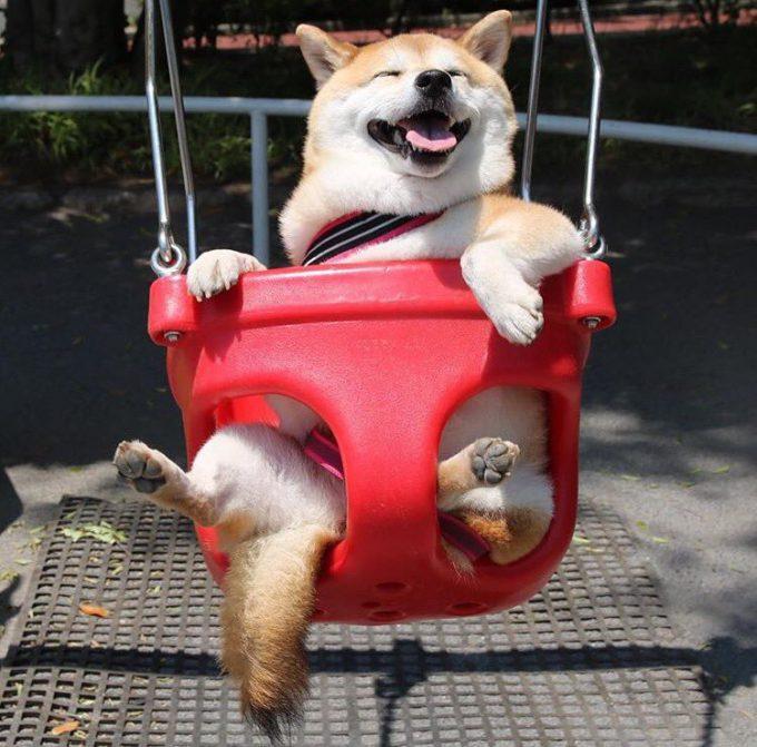 楽しい! すっごい嬉しそうな表情で公園のブランコに乗る柴犬(笑)dog_0025
