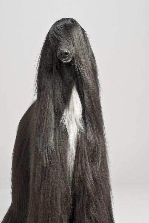 【犬おもしろ画像】ロン毛なおもしろいアフガンハウンド犬(笑)