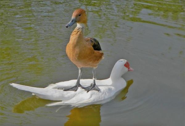 楽チン! 池を泳ぐ鳥の上に乗って移動するカモ(笑)animal_0139