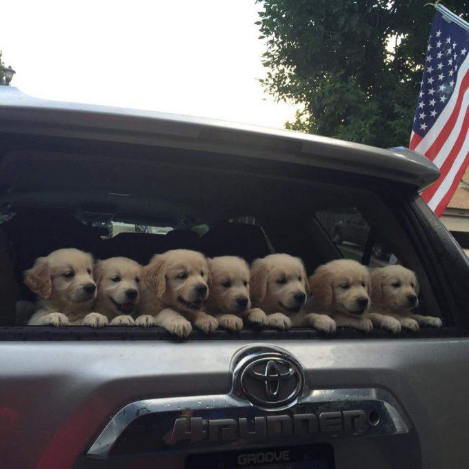 【犬おもしろ画像】かわいい! 車のリアウィンドウから顔を出すゴールデンレトリバーの子犬たち(笑)dog_0009