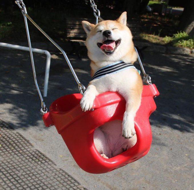 楽しい! すっごい嬉しそうな表情で公園のブランコに乗る柴犬(笑)dog_0025_01