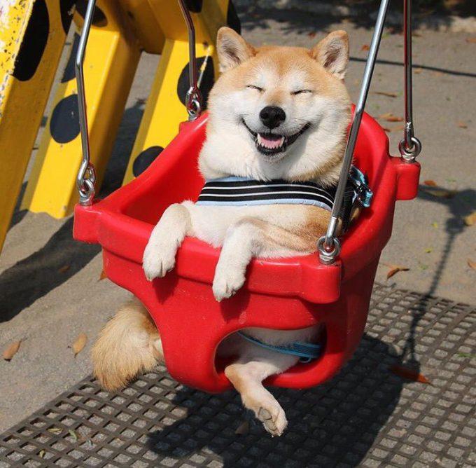 楽しい! すっごい嬉しそうな表情で公園のブランコに乗る柴犬(笑)dog_0025_02