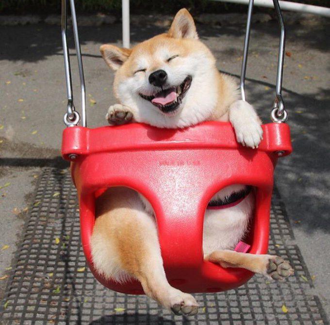 【犬おもしろ画像】公園のブランコで遊ぶ柴犬のおもしろい表情(笑)
