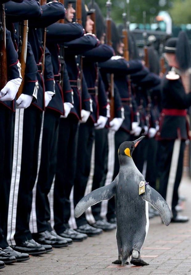 エジンバラ動物園にいるオウサマペンギンの「ニルス・オーラヴ(Nils Olav)」
