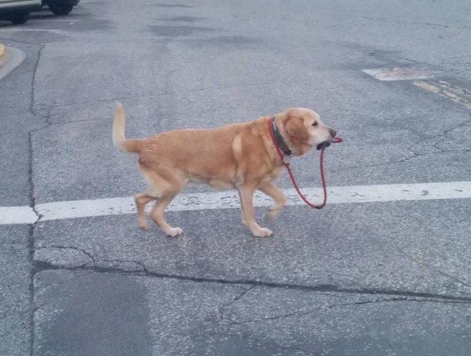 ご主人どこ? リードを加えながら街をさまよい歩く犬(笑)