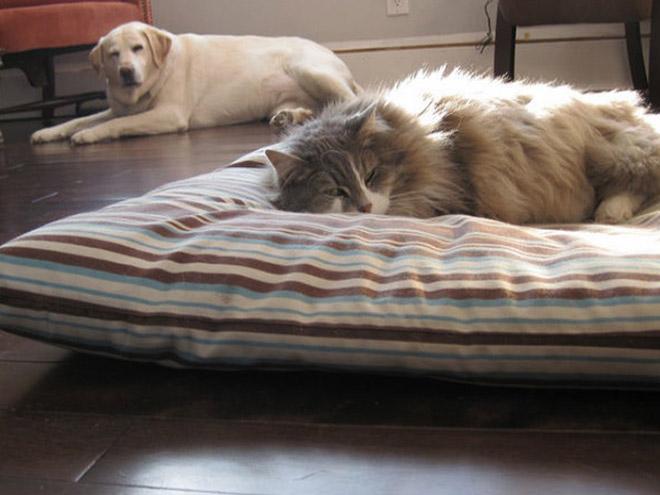 猫に寝床を占領されてしまった犬が、遠くから悲しそうな視線を投げかけてくる(笑)
