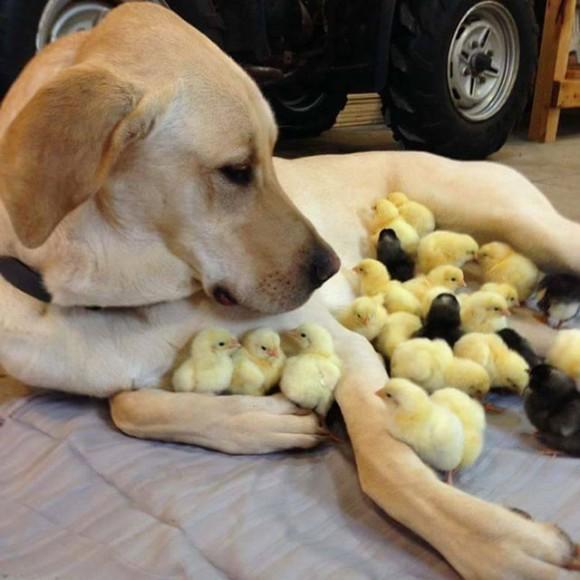 【犬おもしろ画像】守るワン! 犬を親と勘違いして群がるひよこ達がかわいすぎ(笑)