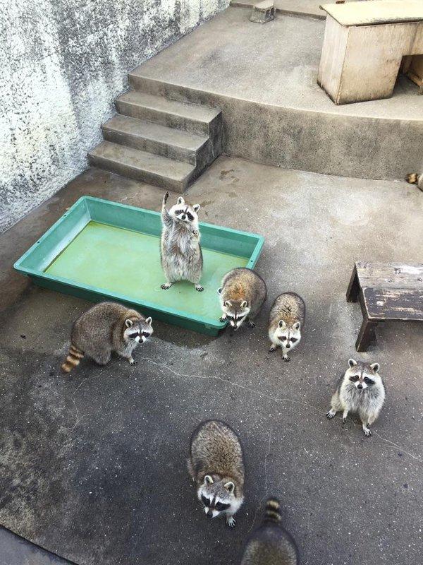 こっちこっち! 餌やりの時に手を上げて必死にアピールするアライグマが可愛すぎ(笑)