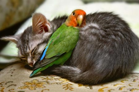 温かい! 寝てる子猫と、猫に寄り添い暖まるインコがほのぼのする(笑)