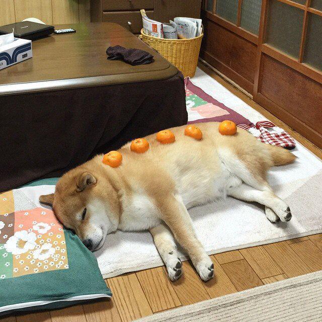 動けない! こたつで横になっていたらみかんを乗せられて動けなくなった柴犬(笑)