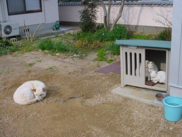 取られた! 犬小屋を白猫たちに占拠されちゃった可哀想な犬(笑)