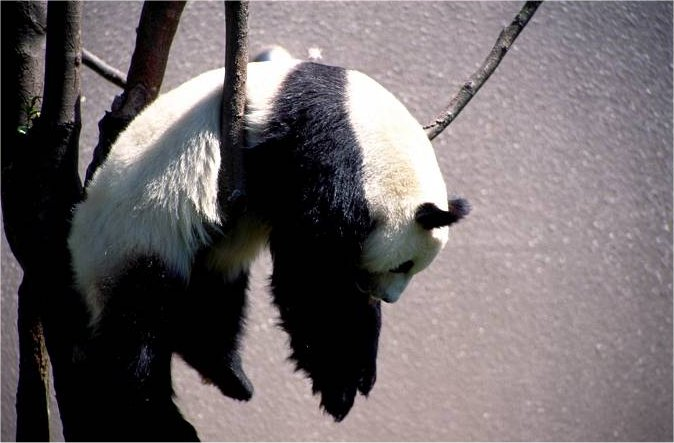 ぐでー! 木の上ですごい体勢で寝るパンダがかわいい(笑)