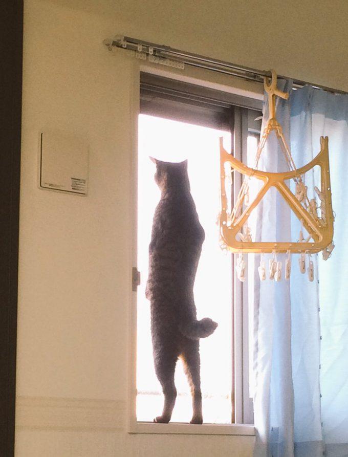 まぶしい! 背筋をまっすぐ伸ばして窓枠に立つ猫の後ろ姿がかっこよすぎます(笑)