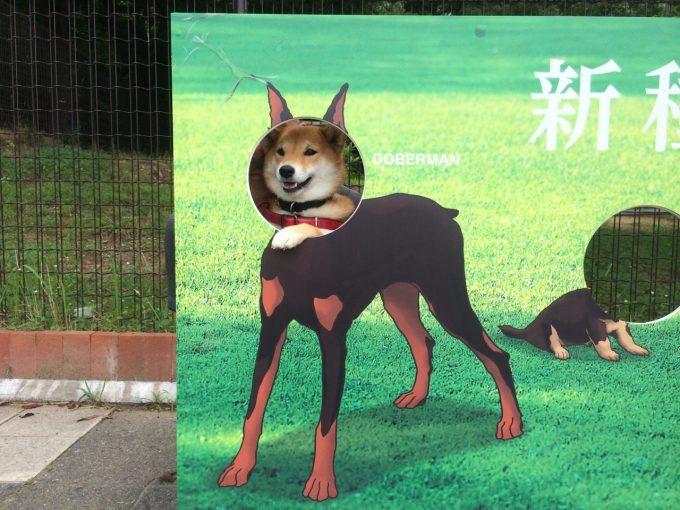 なりたい! 安濃SAの犬顔出しパネルで憧れのドーベルマンになった柴犬がかわいい(笑)