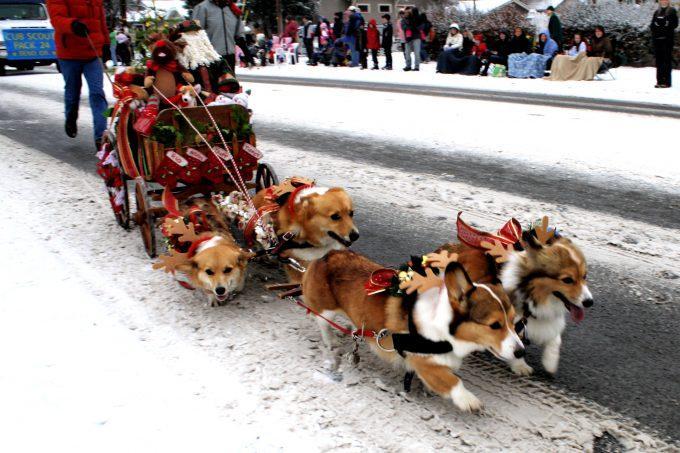 【犬おもしろ画像】かわいい! クリスマスプレゼントを荷車に乗せて引っ張るコーギーたち(笑)