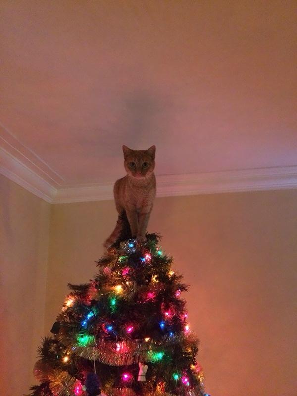 高いニャ! クリスマスツリーのてっぺんに立って自慢げな猫(笑)