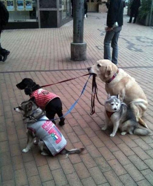 偉い! ご主人の帰りを待つ3匹の犬たちのリードをしっかり咥える犬(笑)