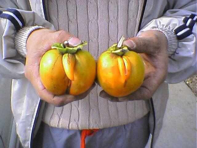 どこかで見たことある形! まるで兄と妹のような柿を収穫(笑)