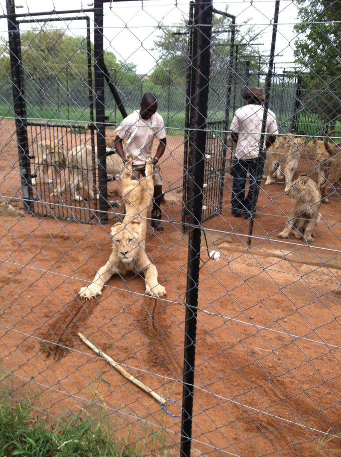 やだー! 飼育員に檻に戻されるのを必死に抵抗するライオンがかわいい(笑)