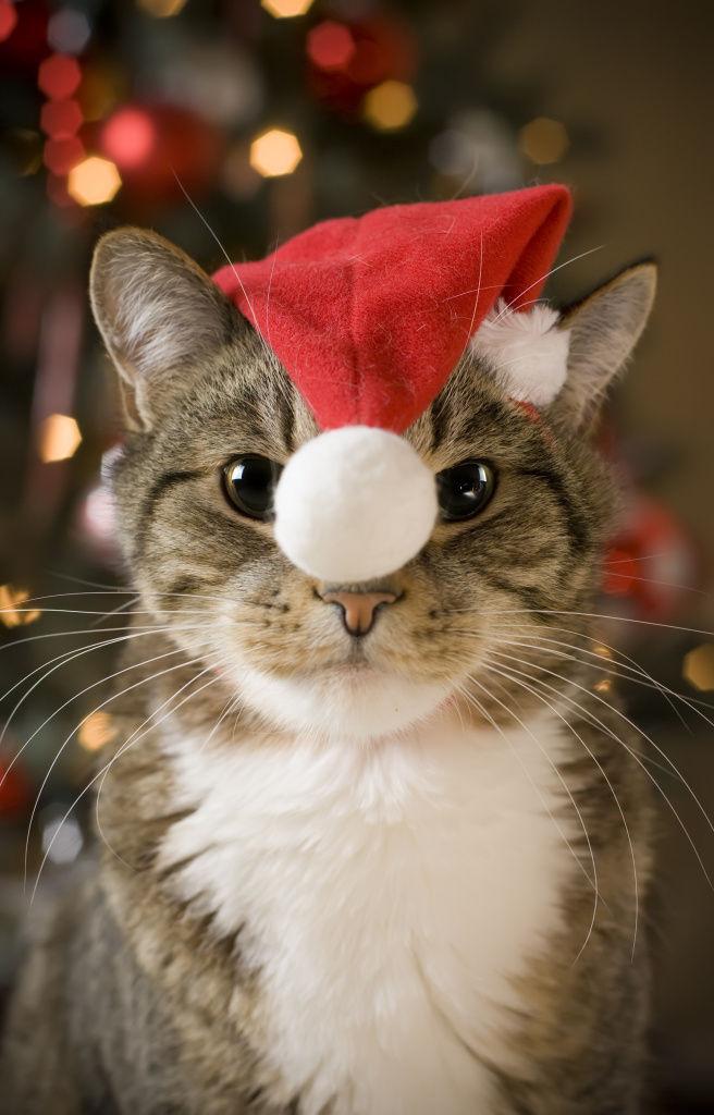 垂れるニャ! サンタの帽子を被った猫を正面から撮影したらシュールに(笑)