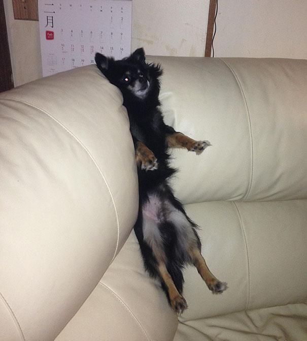何したらそうなる? ソファーにハマって動けない犬がかわいい(笑)