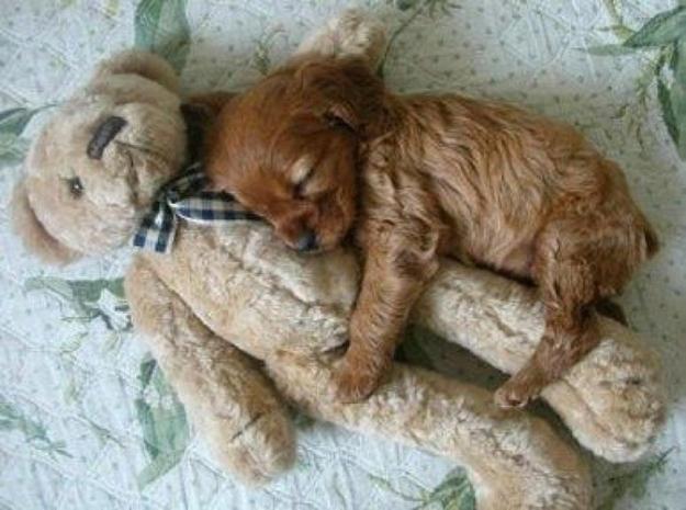 【犬おもしろ画像】すやすや♪ ぬいぐるみにしがみついて眠る子犬がかわいすぎます(笑)