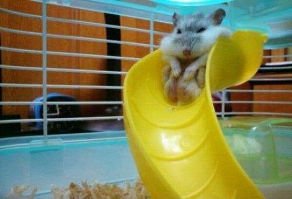 滑れない! ハムスター、太りすぎてすべり台から降りられない(笑)