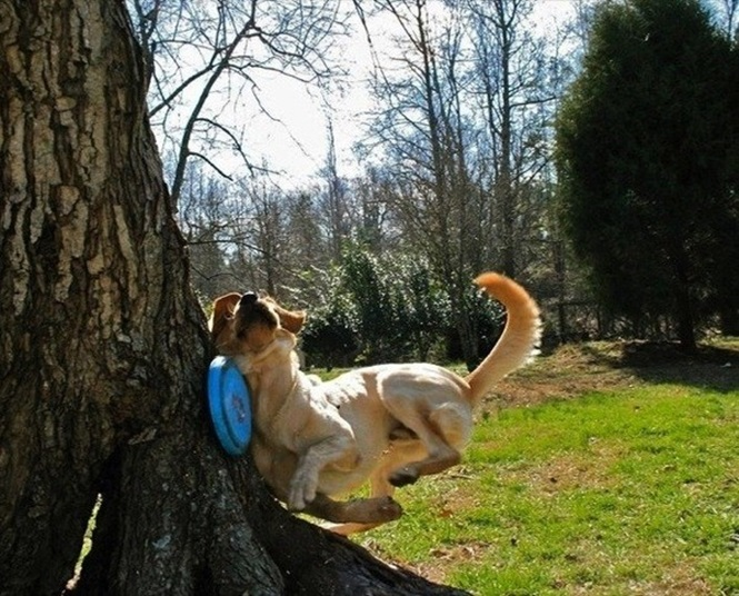 【犬おもしろ画像】痛い! フリスビーに夢中になりすぎて木にぶつかる犬(笑)
