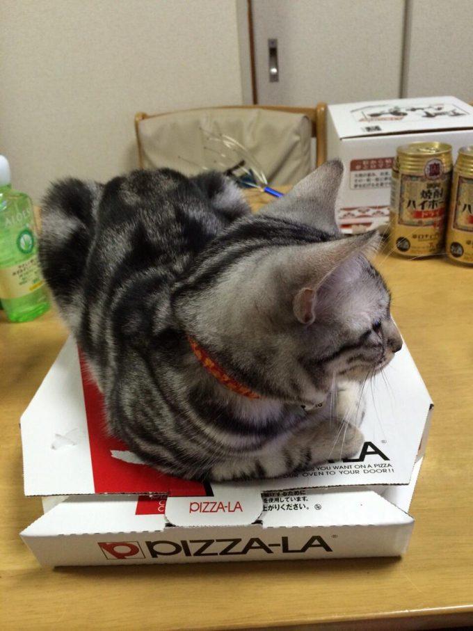 【猫おもしろ画像】カイロ! 猫を飼っている家ではアツアツのピザを食べさせてもらえない(笑)