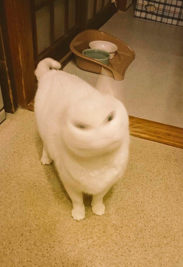 【猫おもしろ画像】猫の首振りが早すぎておもしろい写真が撮れた(笑)