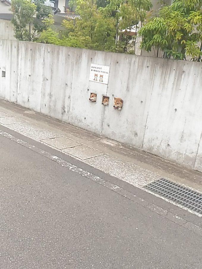 【犬おもしろ画像】外見たいワン! ブロック塀の3か所の穴から顔を出すかわいい柴犬たち(笑)