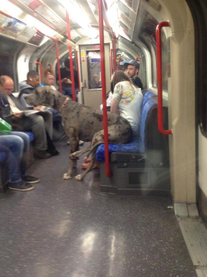 【犬おもしろ画像】珍客! 海外の電車内で見かけた座席に腰掛ける犬のグレートデン(笑)