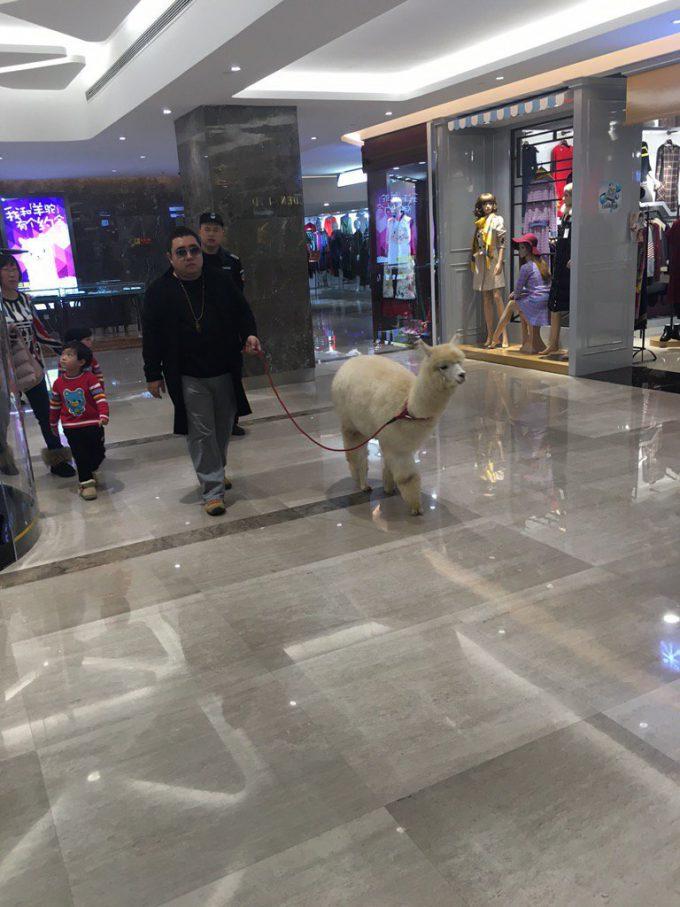 ペットなの? 北京のデパートでアルパカを散歩している人が発見される(笑)