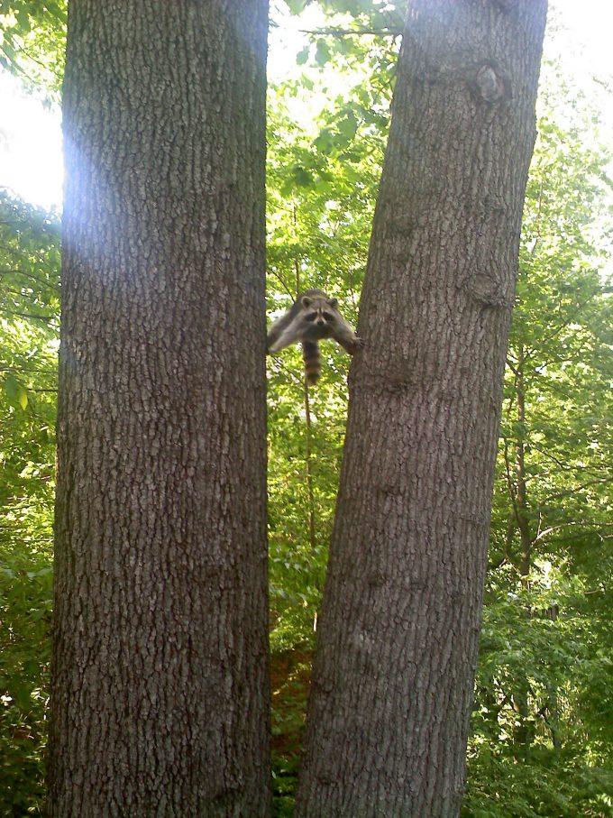 もうつらい! 木の間で両手両足を広げて頑張るアライグマ、なにをしたいのか分からない(笑)