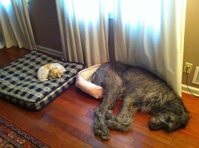 小さい! 子犬に自分用のベッドを取られ、仕方なく小さいベッドに横になる犬(笑)