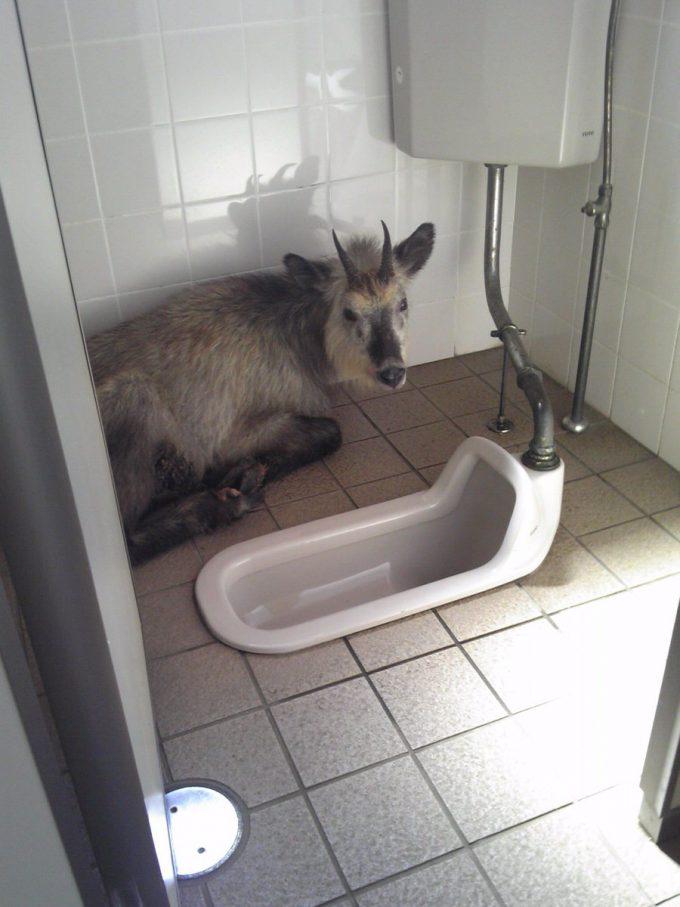 ノックして! 岩手県八幡平の観光施設でトイレに行ったらニホンカモシカの先客(笑)