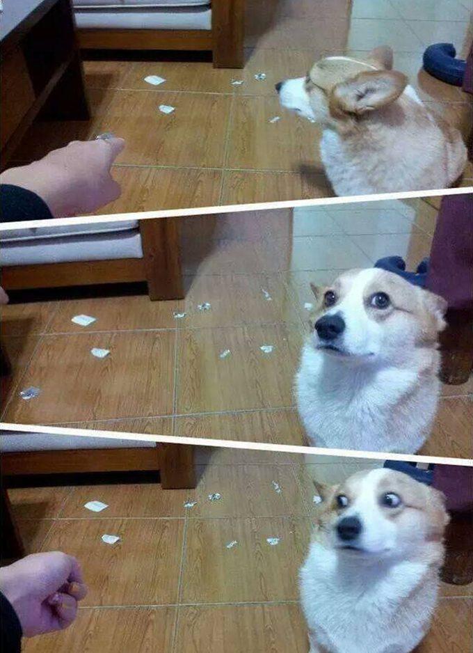 【犬おもしろ画像】とぼけるものの目線が嘘を付けない犬がおもしろい(笑)