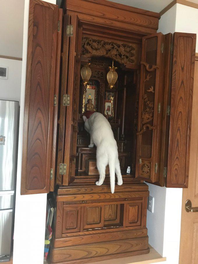 【猫おもしろ画像】犯人はお前か! 仏壇に供えた水がいつも減ってる怪現象の犯人は化け猫?(笑)