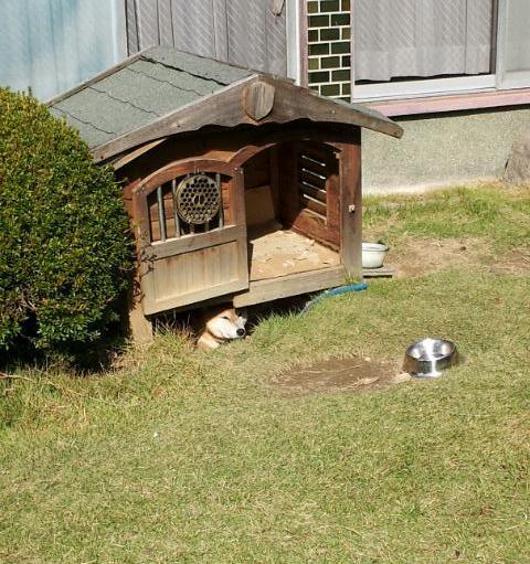 こっちがいいワン! 犬小屋あるのに犬小屋の下で日差しを避ける犬がかわいい(笑)