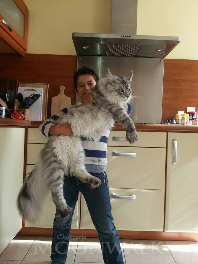 【猫おもしろ画像】子どもより大きい! 世界最大の猫「メインクーン」が大きすぎ(笑)