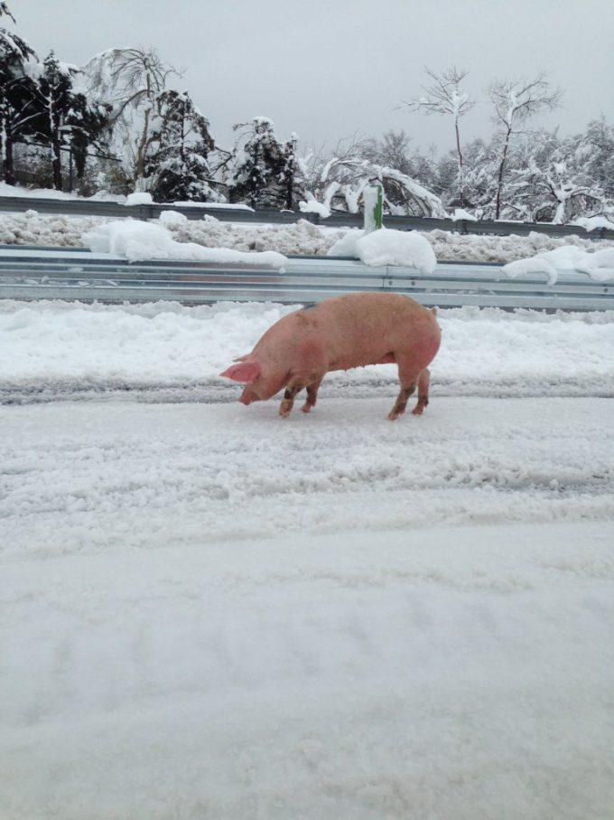渋滞! 関越自動車道に豚が歩いていて一瞬目を疑う(笑)