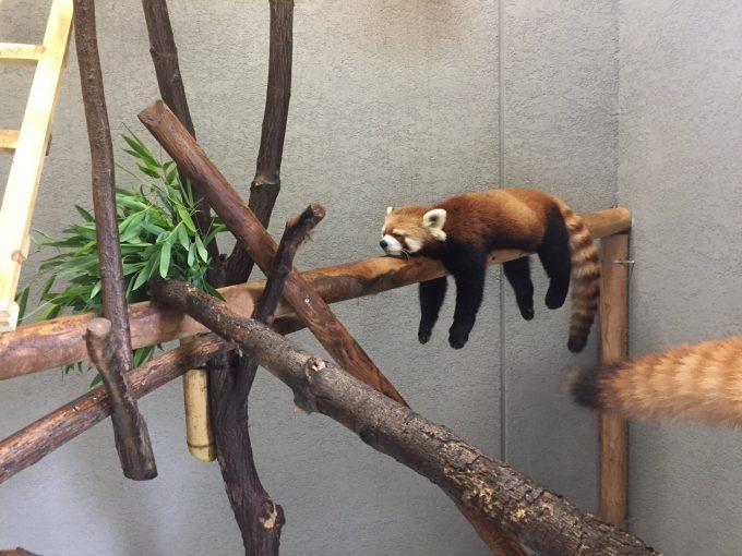 ぐでー! 札幌市円山動物園レッサーパンダがすごい体勢で爆睡してます(笑)
