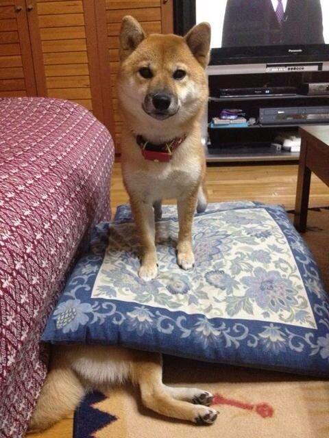 ふみふみ! 柴犬、座布団で兄弟を踏みつけてる事に気付かずドヤ顔(笑)