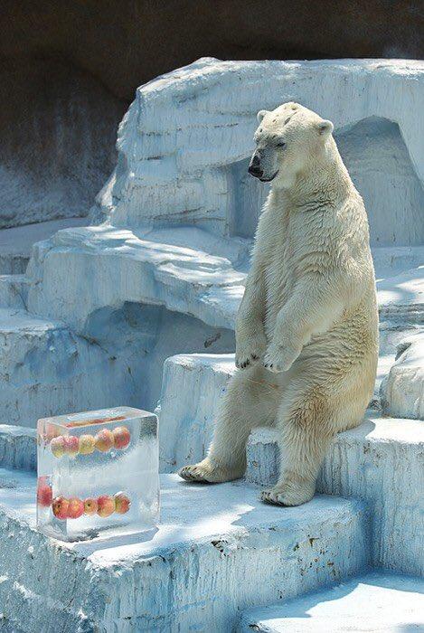 【氷とホッキョクグマおもしろ画像】まだかな? 天王寺動物園で氷漬けにされたリンゴが溶けるのを待つホッキョクグマ(笑)