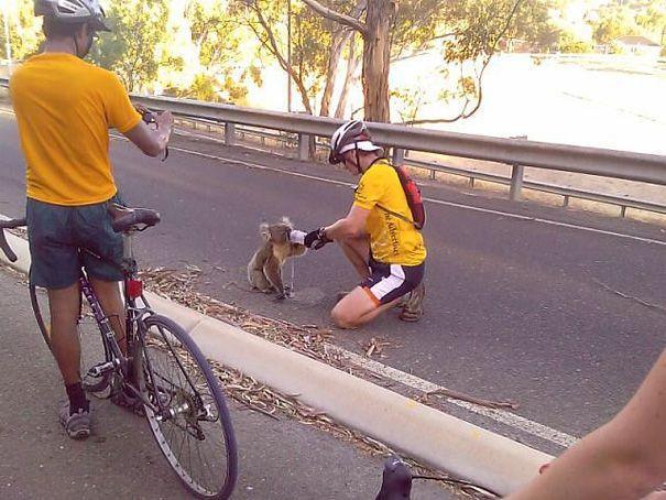 【猛暑のコアラおもしろ画像】水! 暑すぎてサイクリングする人に水をせがむコアラ(笑)