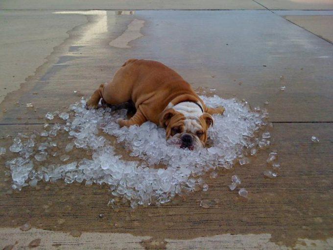 幸せ~! 地面にぶちまけられた氷の上に気持ちよさそうに横たわる犬(笑)